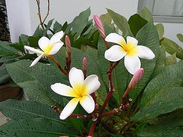 Лайма цветок
